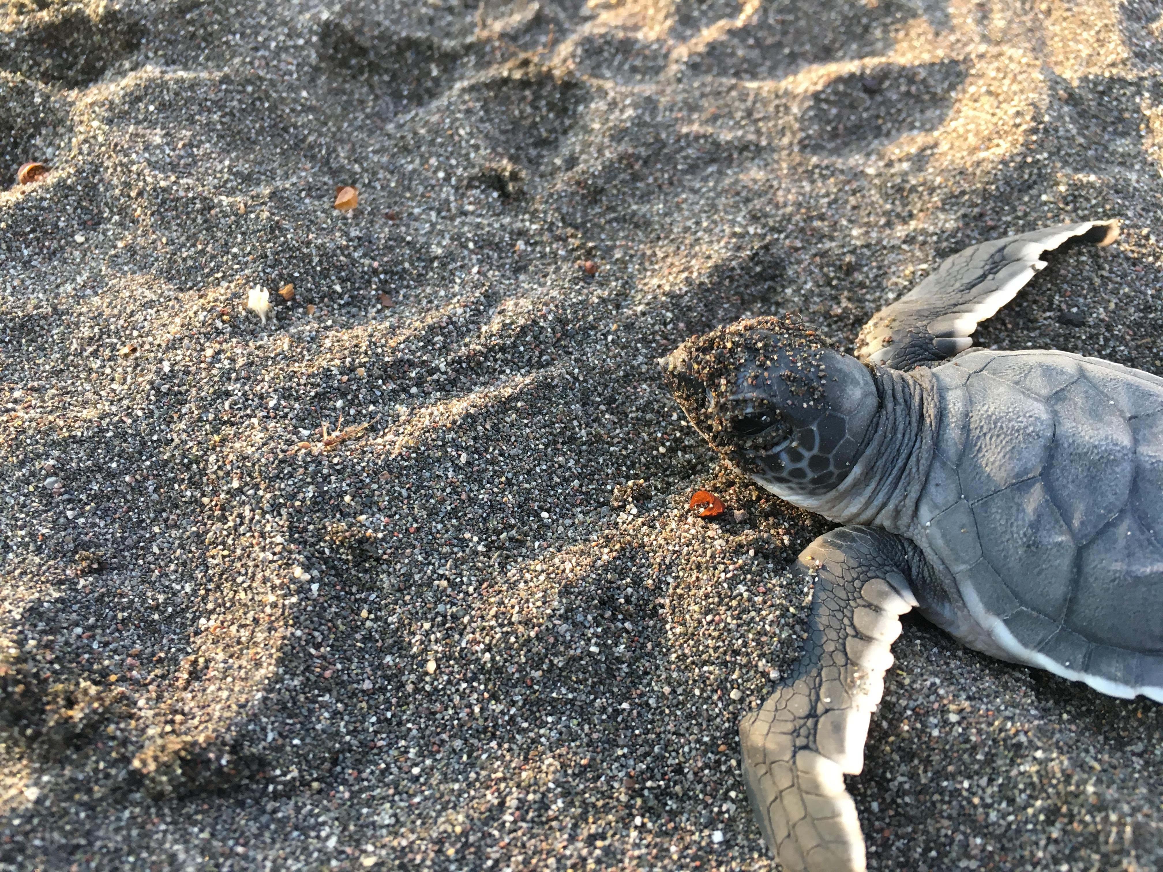 Conservation volunteer work in Mexico for teenagers involves lots of work with turtle hatchlings